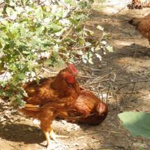 nostre-pollastre