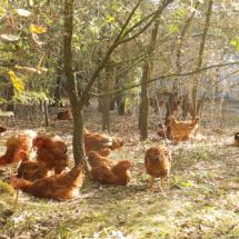 pollastres-arbres